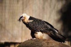 Free Bearded Vulture (Gypaetus Barbatus) Stock Image - 11300451