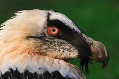 The bearded vulture (Gypaetus barbatus) Stock Images