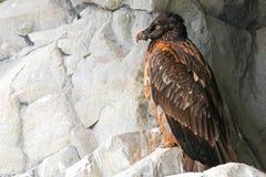Bearded vulture (Gypaetus barbatus), Alpine bird of prey sitting Stock Image