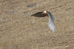 Bearded vulture Gypaetus barbatus also known as Lammergeier or Bearded Vulture flying in China Stock Image