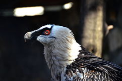 The bearded vulture Gypaetus barbatus. Also known as the lammergeier[a] or ossifrage, is a bird of prey and the only member of the genus Gypaetus royalty free stock image