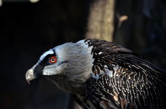 The bearded vulture Gypaetus barbatus. Also known as the lammergeier[a] or ossifrage, is a bird of prey and the only member of the genus Gypaetus stock photo