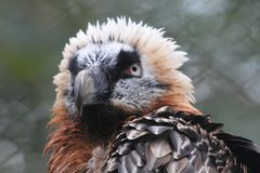 Bearded Vulture    Gypaetus barbatus. The bearded vulture Gypaetus barbatus, also known as the lammergeier or ossifrage, is a bird of prey and the only member of Royalty Free Stock Photography