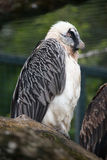 Bearded vulture Gypaetus barbatus Royalty Free Stock Photography