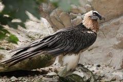 Bearded vulture (Gypaetus barbatus). Stock Photo