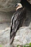 Bearded vulture (Gypaetus barbatus). Stock Photos