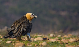 Bearded Vulture Royalty Free Stock Photo