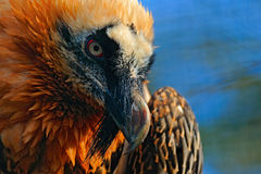 Bearded Vulture, Gypaetus barbatus, in stone habitat, detail bill portrait, Spain Stock Photography