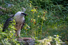 Bearded vulture - Gypaetus barbatus in the wild Royalty Free Stock Image