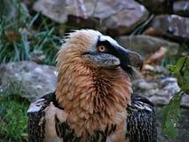 Bearded vulture head Royalty Free Stock Photography