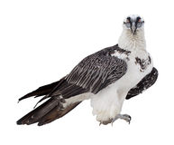 Bearded vulture.  Isolated over white Stock Images
