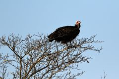 Bearded vulture, Kruger National Park, South Africa. Bearded vulture on a tree, Kruger National Park, South Africa stock photo