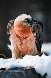 Bearded vulture (lat. Gypaetus barbatus) Stock Photo