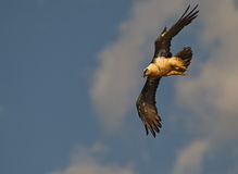 Bearded Vulture in a nosedive. A Bearded Vulture (Gypaetus barbatus) shows it´s flight skills in a impressive nosedive Royalty Free Stock Photos