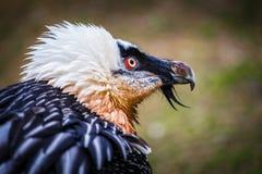 Bearded vulture Stock Image