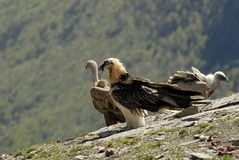 bearded vulture in the Pyrenees royalty free stock photo