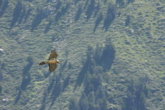 Bearded vulture in Pyrenees Royalty Free Stock Photos