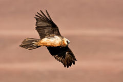 Bearded Vulture soaring Royalty Free Stock Image