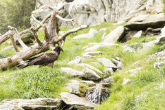 Bearded vulture Royalty Free Stock Image