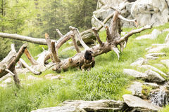 Bearded vulture Royalty Free Stock Photos
