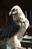 Bearded vulture. This is a Bearded Vulture which is threatened with extinction in Europe Stock Photo