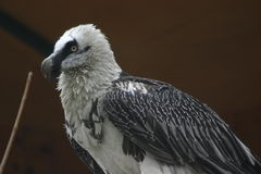 Bearded vulture. This is a Bearded Vulture which is threatened with extinction in Europe Royalty Free Stock Image