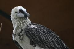 Bearded vulture. This is a Bearded Vulture which is threatened with extinction in Europe Royalty Free Stock Images