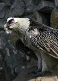 Bearded vulture. This is a Bearded Vulture which is threatened with extinction in Europe Stock Photography