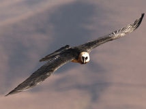 Bearded Vulture with wings outstretched Stock Images