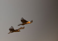 Bearded Vultures flying into the storm Royalty Free Stock Photo
