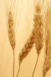 Bearded Wheat Stock Images