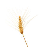 Bearded Wheat Stock Photos