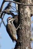 Bearded woodpecker, Dendropicos namaquus Royalty Free Stock Photography