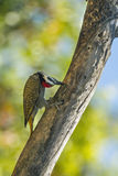 Bearded Woodpecker in Kruger National park, South Africa Stock Photography
