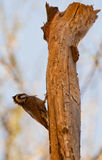 A Bearded Woodpecker on a log Stock Image