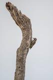 Bearded Woodpecker Stock Photo