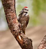 Bearded woodpecker sitting on a branch Royalty Free Stock Photos