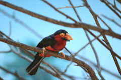 Bearded barbet Stock Image