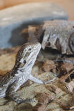 Beardie. Inland or Central Bearded dragon perched on wood log Royalty Free Stock Photography