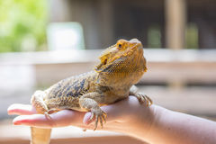 Beardsley Bearded Dragon. On a handler's hand stock image