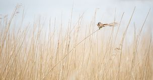 Beared tit in the reed royalty free stock images