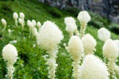 Beargrass野花开花在冰川国家公园的,美国 免版税库存图片