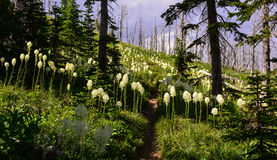Beargrass stockbilder