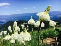 Beargrass blomma royaltyfria foton