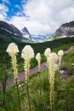 Beargrass en las montañas en el Parque Nacional Glacier Fotos de archivo libres de regalías