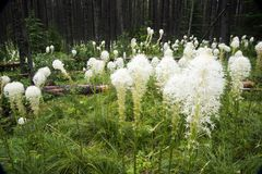 Bear grass in a meadow stock image