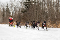 Beargrease 2015 Mid Distance Billie Diver on Trail Royalty Free Stock Images