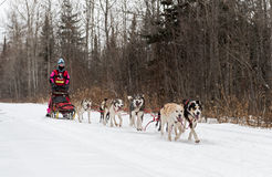 Beargrease 2015 Mid Distance Kayla Borntrager on Trail Stock Photo