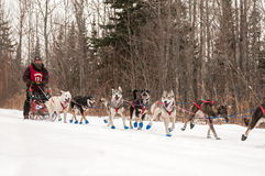 Beargrease 2015 Mid Distance Kevin Mathais on Trail Royalty Free Stock Images