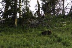 Bearly ένα πρότυπο Στοκ Φωτογραφίες